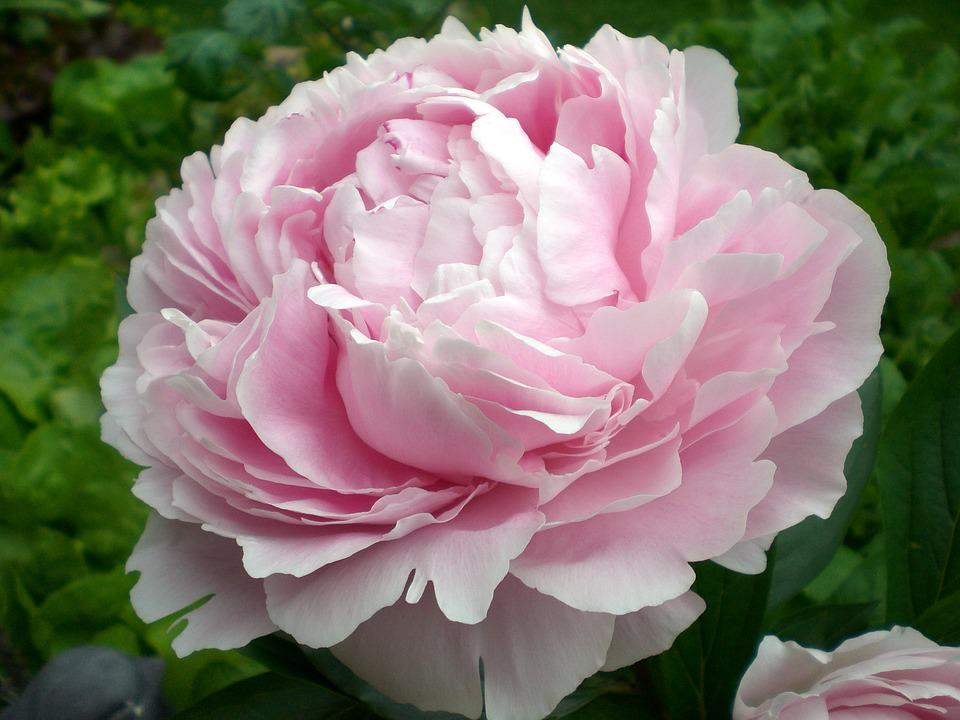 Peony, Blossom, Bloom, Ornamental Plant, Double Flower