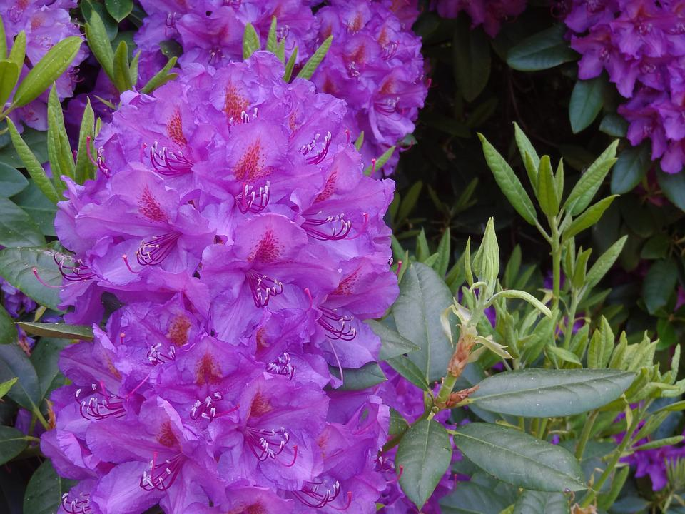 Rhododendron, Rhododendrons, Ericaceae, Blossom, Bloom