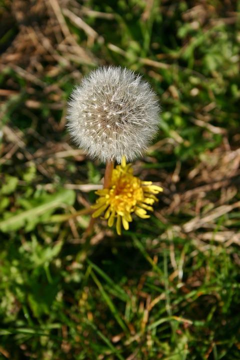 Dandelion, Plant, Autumn, Yellow, Faded, Blossom, Bloom