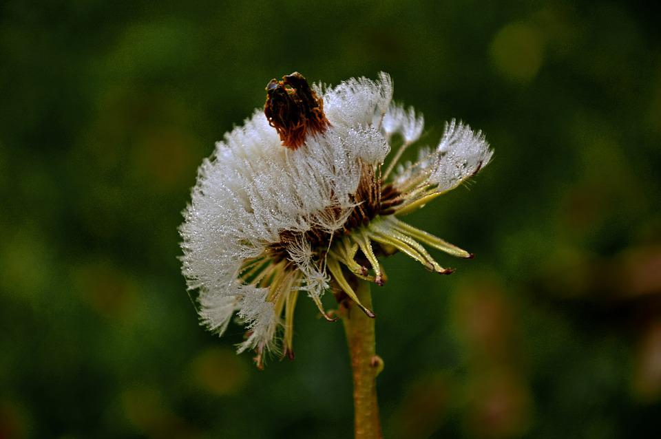 Blossom, Bloom, Faded, Dandelion, Weed