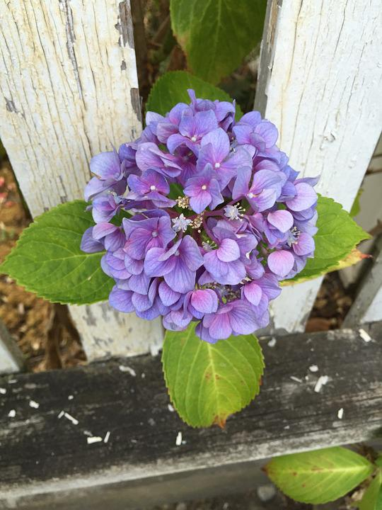 Flower, Fence, Flora, Plant, Bloom, Blossom, Hydrangea