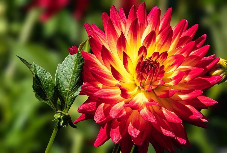 Dahlia, Flower, Ornamental Plant, Flora, Blossom, Bloom
