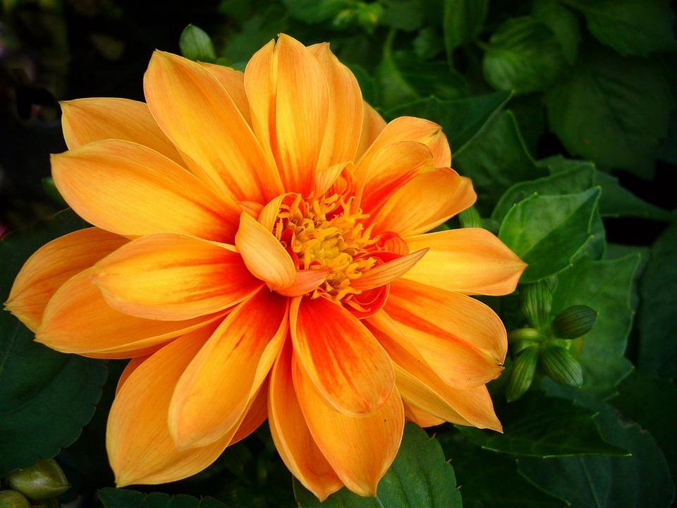 Dahlia, Floral, Plant, Natural, Blossom, Bloom, Petal