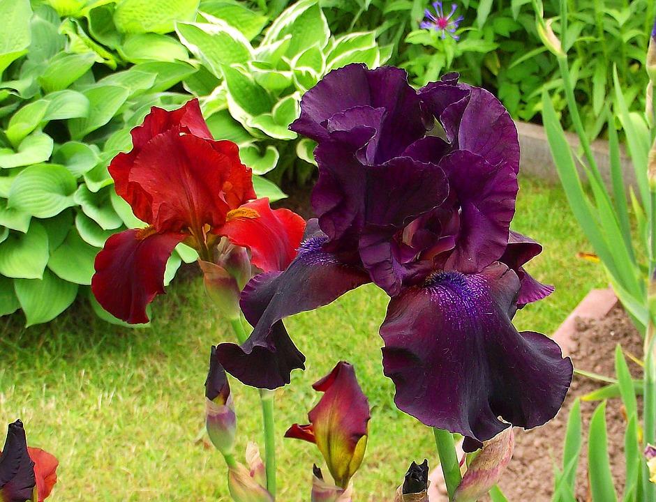 Iris, Garden, Flower, Blossom, Bloom, Floral, Spring