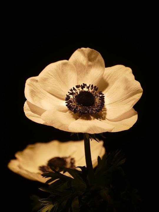 Anemone, Flower, Bloom