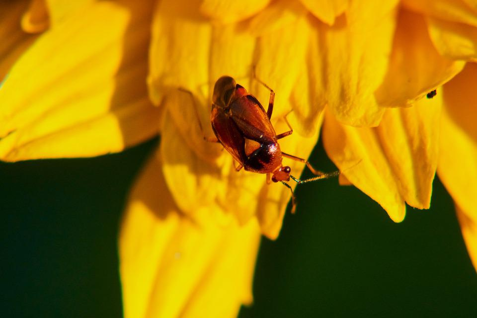 Beetle, Insect, Blossom, Bloom, Flower, Close Up, Macro