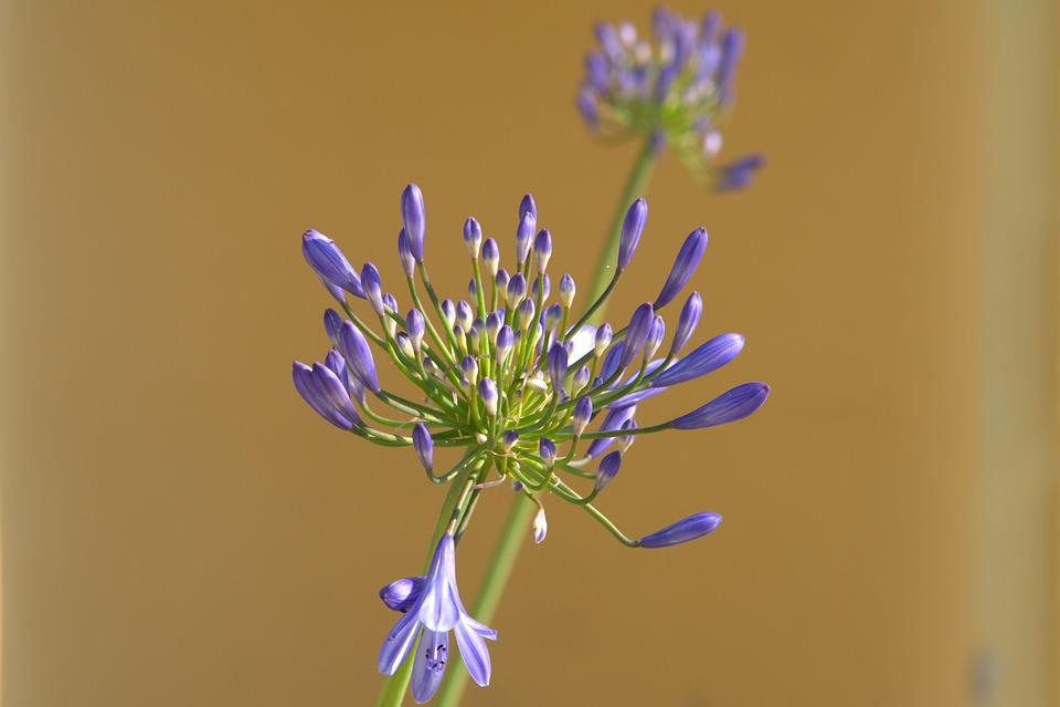 Agapamptus, Flower, Blossom, Bloom, Garden, Plant
