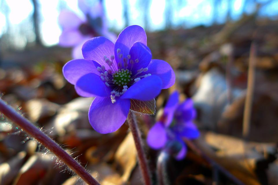 Hepatica, Nature, Flower, Blossom, Bloom, Forest