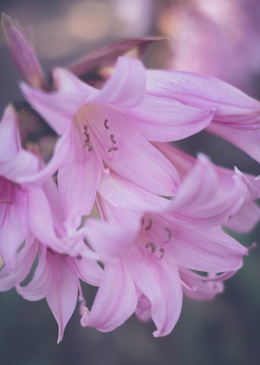 Flower, Naked Lady, Blossom, Bloom, Herbstzeitlose