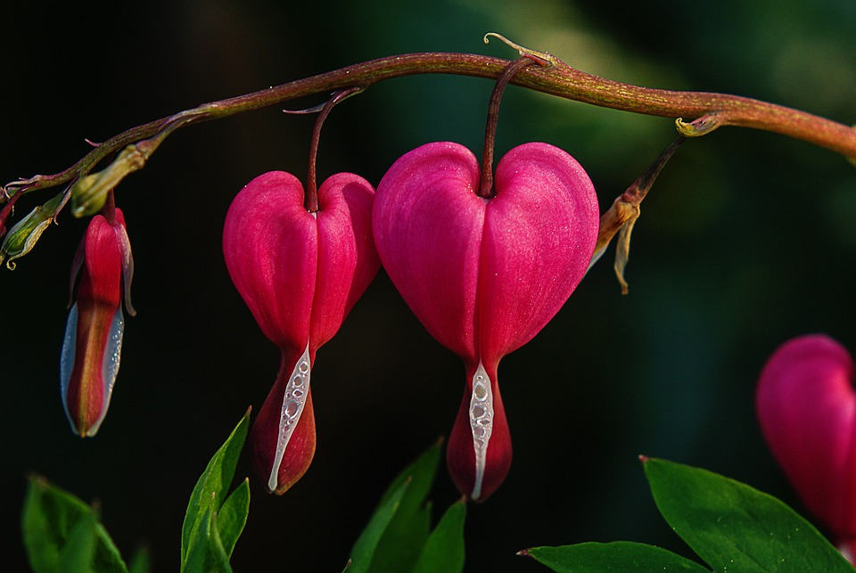 Bleeding Heart, Flower, Natural Pink, Blossom, Bloom