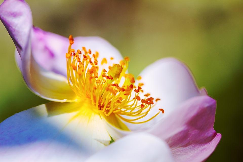 Rose, Climbing Rose, Blossom, Bloom, Nature, Flower