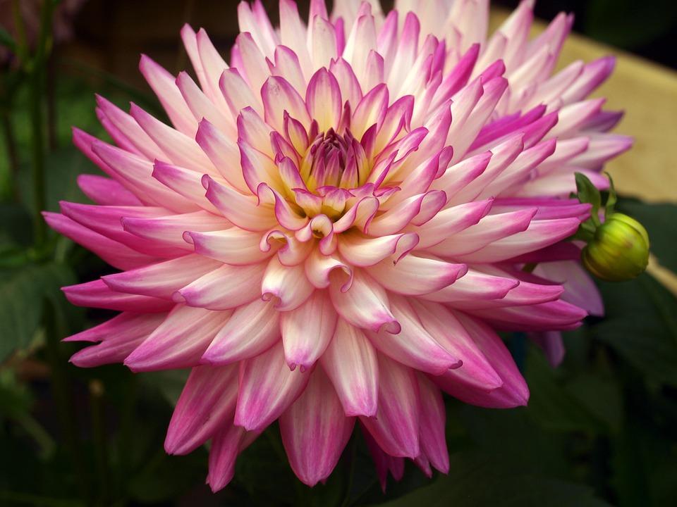 Flower, Dahlia, Bloom
