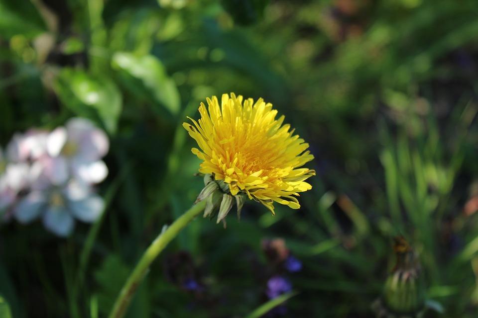 Dandelion, Blossom, Bloom, Flower
