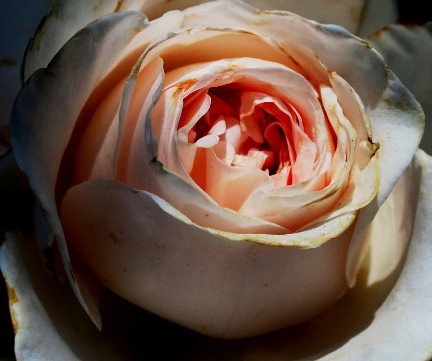 Rose, Flower, Bloom, Densely Arranged Petals, Rounded