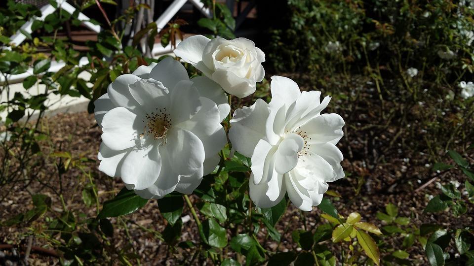 Flower, Garden, Bloom