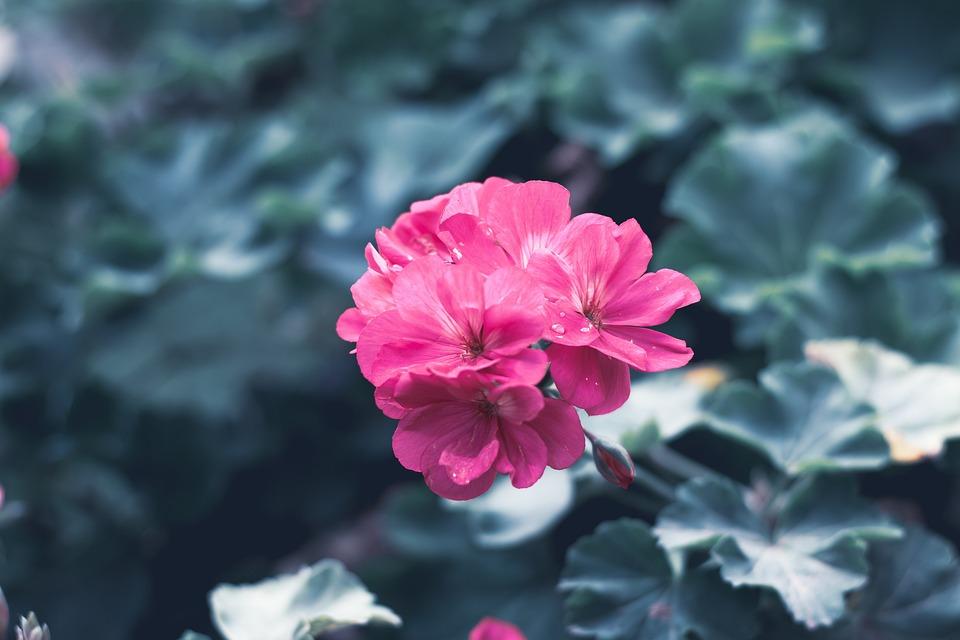 Flower, Flora, Pink, Spring, Nature, Garden, Bloom