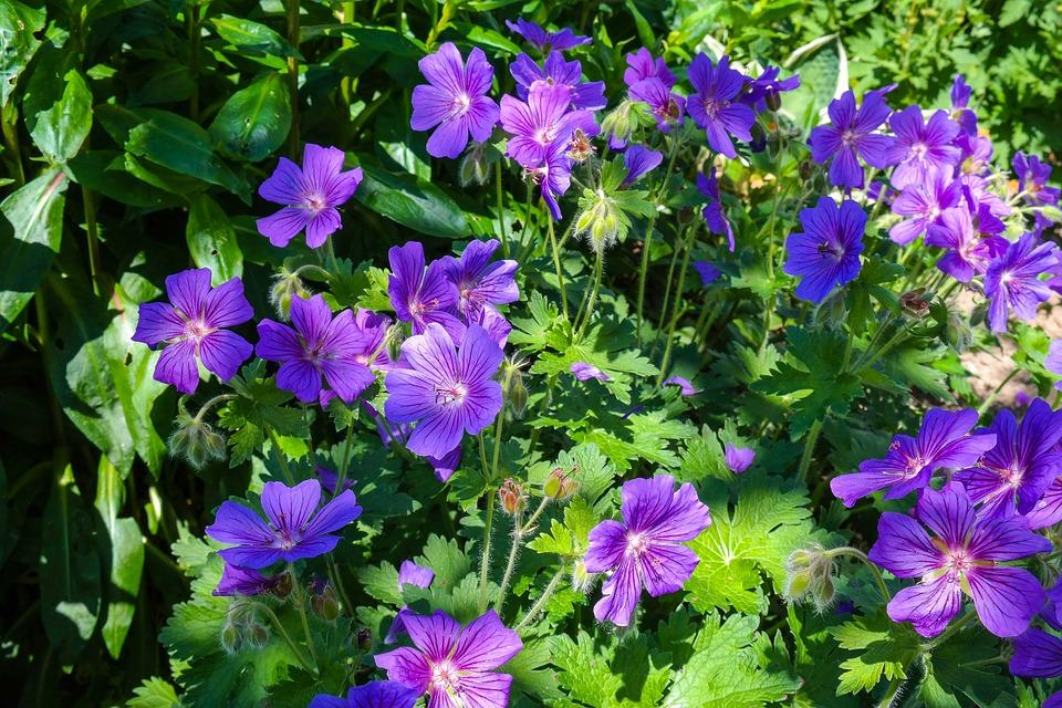 Cranesbill, Geranium, Flower, Blossom, Bloom, Plant