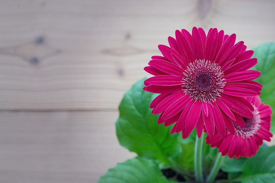 Gerbera, Pink, Flower, Blossom, Bloom, Petals