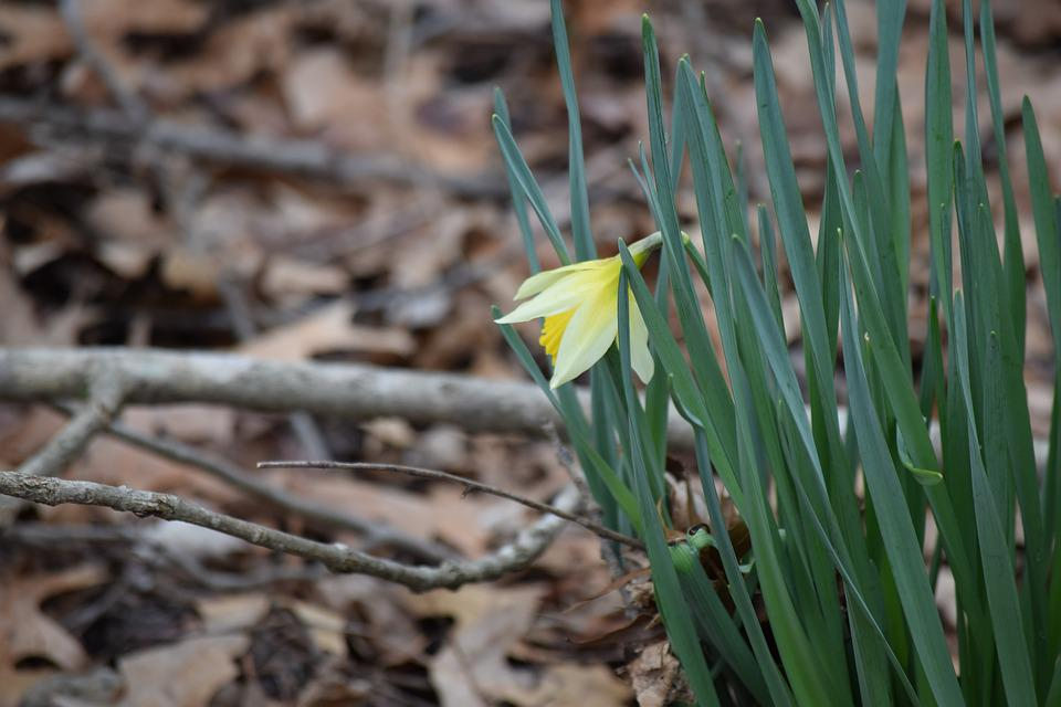 Flower, Nature, Bloom, Natural Spring, Daffodil, Green