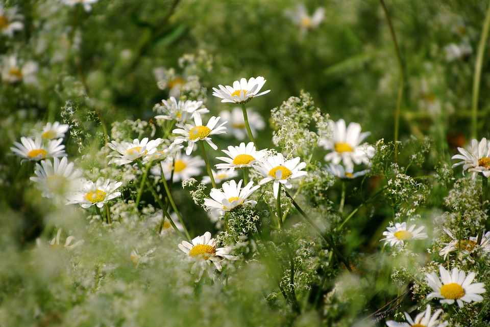 Flower, Chamomile, Plant, Blossom, Bloom, Meadow