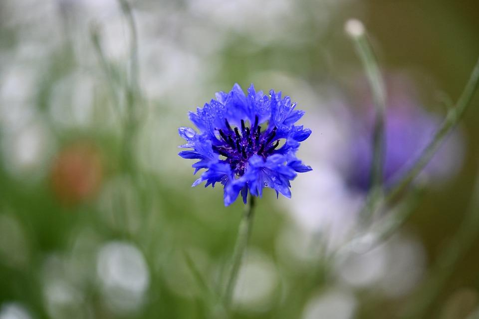Cornflower, Flower, Blossom, Bloom, Flower Meadow