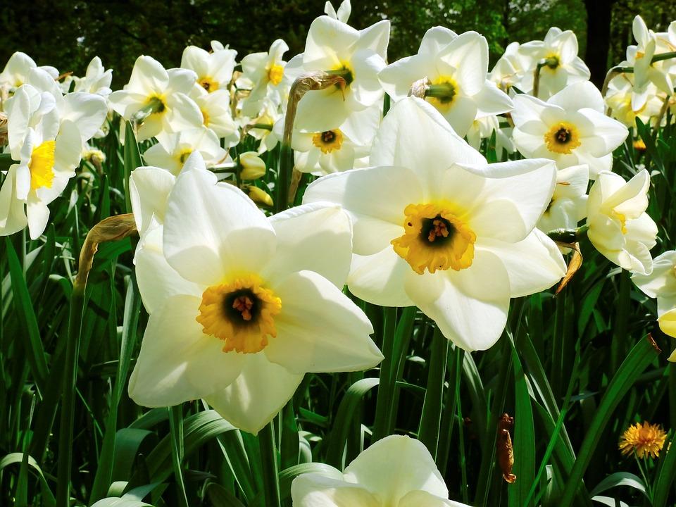 Narcissus, Flower, Spring, Nature, Blossom, Bloom