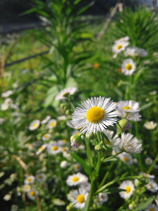 Daisy, Flower, Nature, Natural, Green, Bloom, Spring