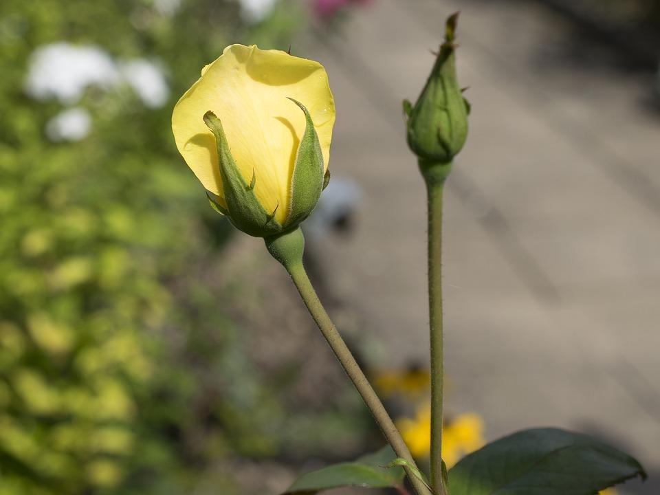 Rose, Flower, Blossom, Bloom, Nature, Flora, Plant
