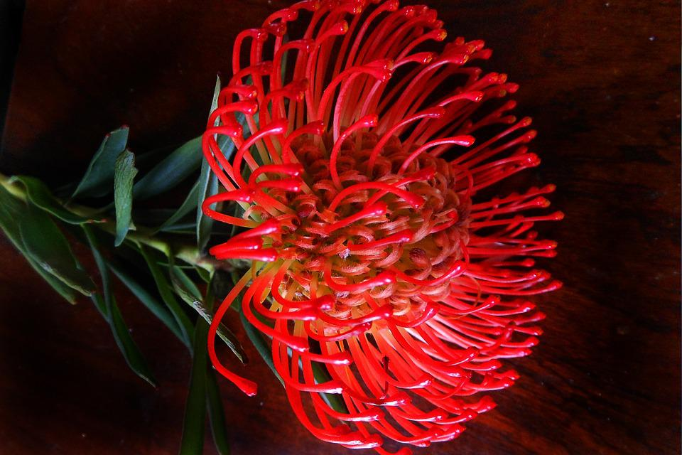 Protea, Flower, Bloom, Color