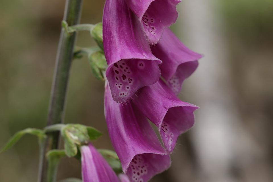 Thimble, Violet, Flower, Purple, Blossom, Bloom