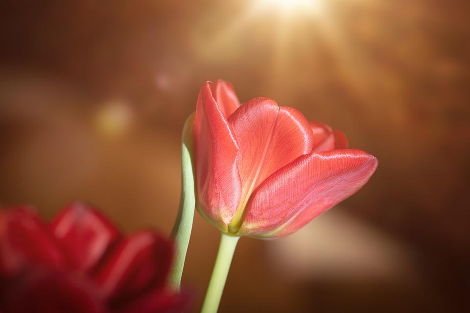 Tulip, Red, Flower, Blossom, Bloom, Spring Flower