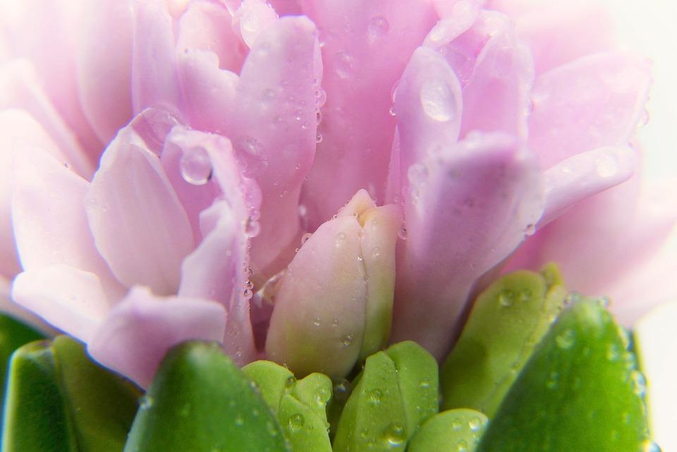 Crocus, Spring, Growth, Pink, Bloom, Grow, Flower