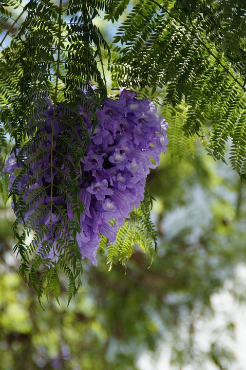 Jacaranda, Flower Tree, Flowers, Bloom, Tropical
