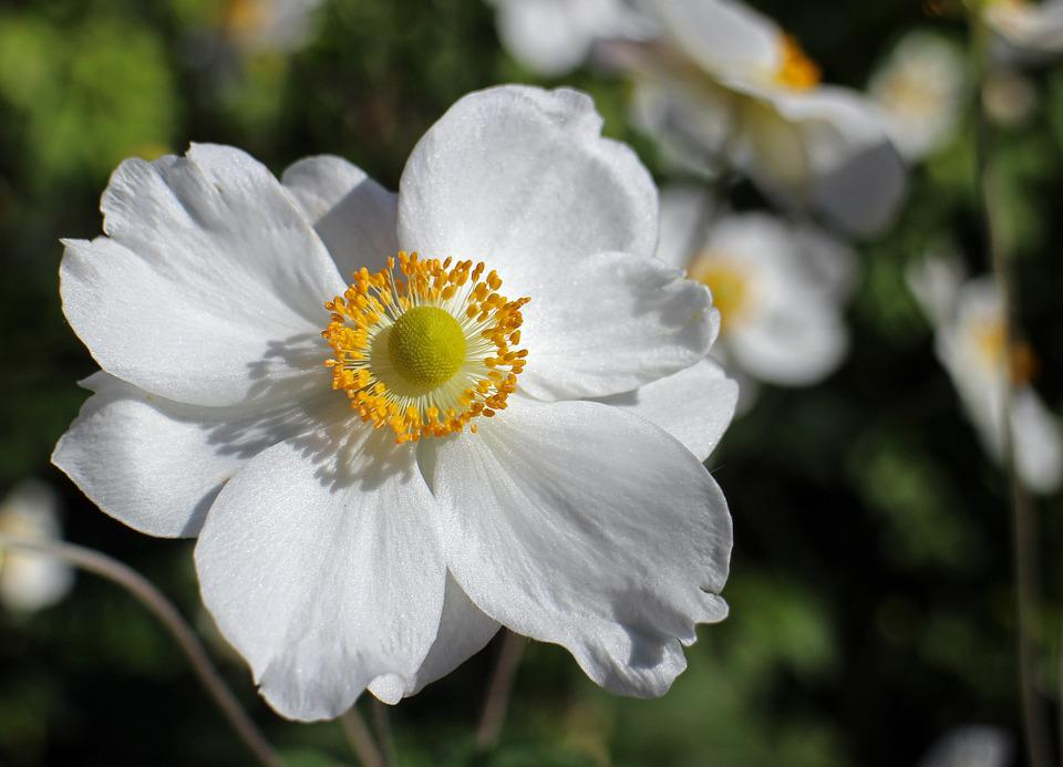 Fall Anemone, White, Flower, Garden Plant, Bloom
