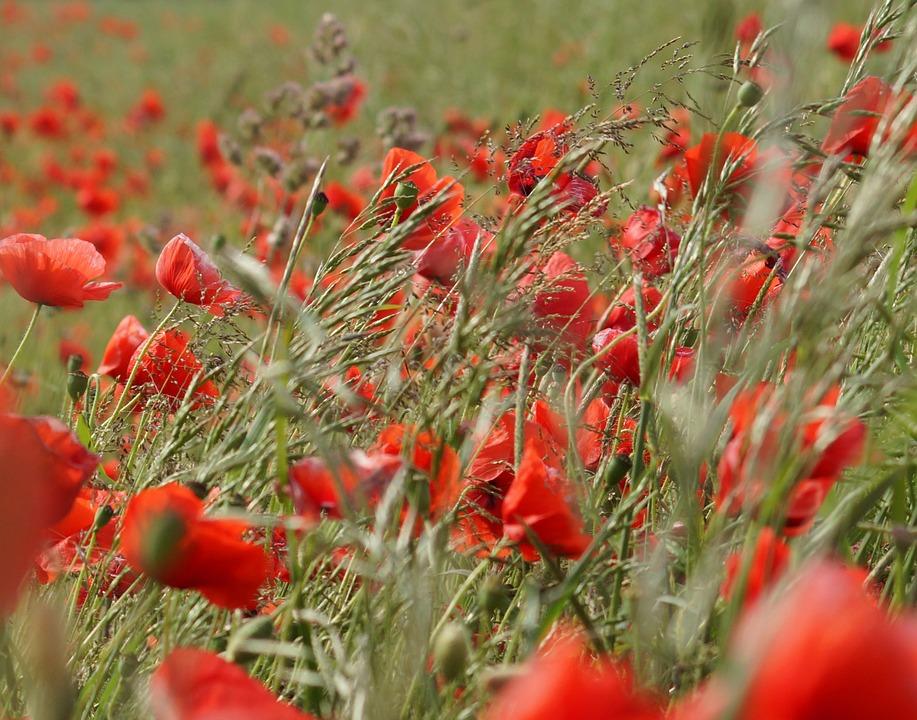 Wind, Poppy, Nature, Summer, Blossom, Bloom, Flower