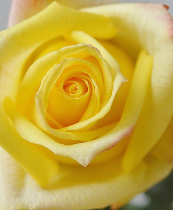 Flower, Rose, Yellow Rose, Bloom, Blossom, Flora