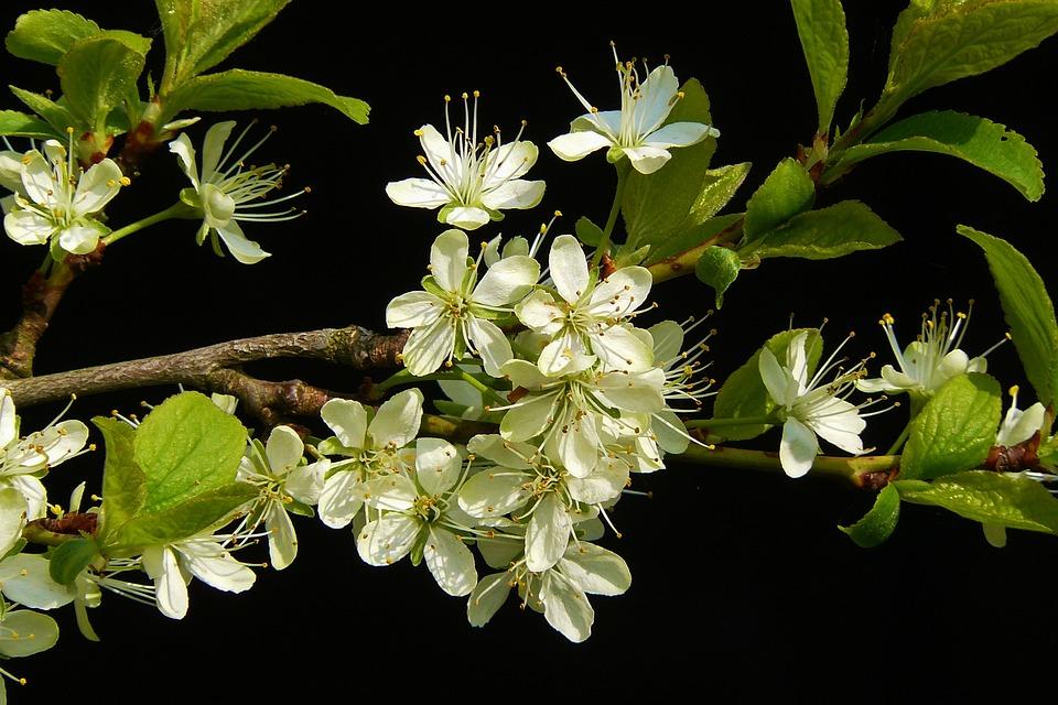 Flowering Twig, Blossom, Bloom, Spring, Blossom, Close