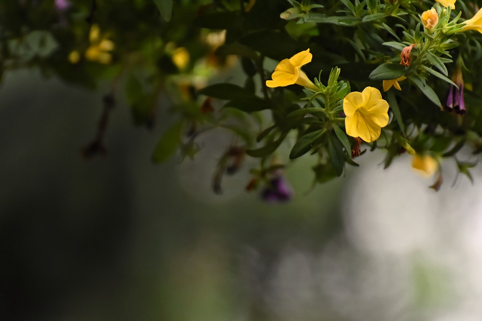 Petunia, Flowers, Background, Blossom, Bloom, Nature