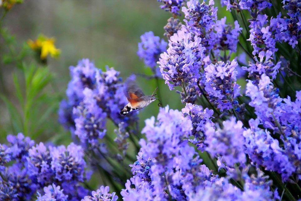 Lavender, Hummingbird, Garden, Flowers, Blossom, Bloom