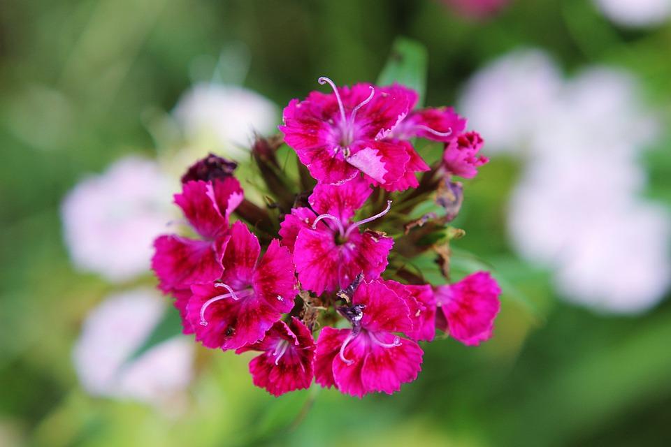 Gillyflowers, Flowers, Plant, Pink Flowers, Bloom