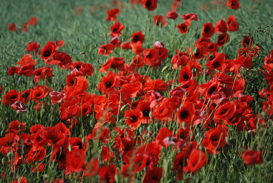Flowers, Poppy, Mark, Summer, Bloom, Poppies, Eng
