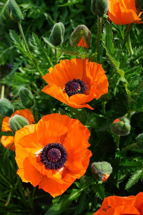 Nature, Flowers, Poppy, Blossom, Bloom, Riesenmohn