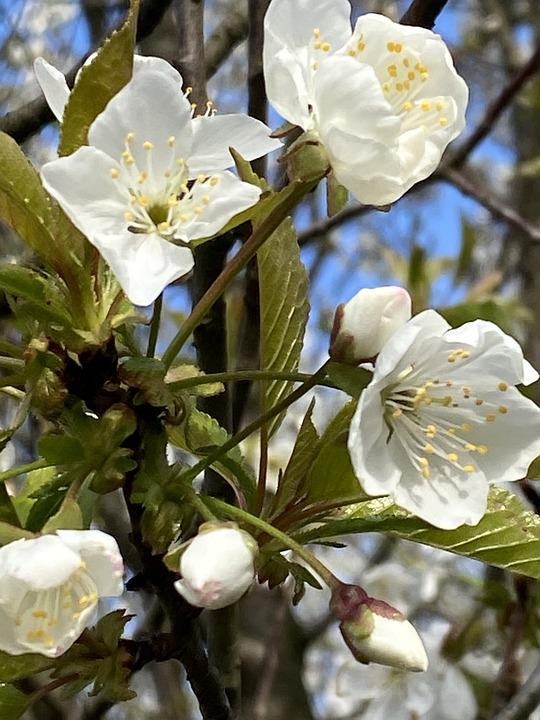 White Flowers, Flowers, Spring, Bloom, Blossom, Petals