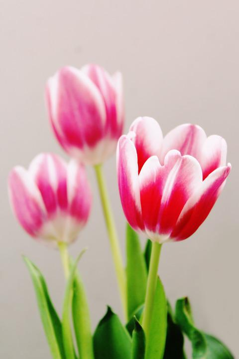 Tulips, Flowers, Flora, Pink, Red, Bloom, Schnittblume