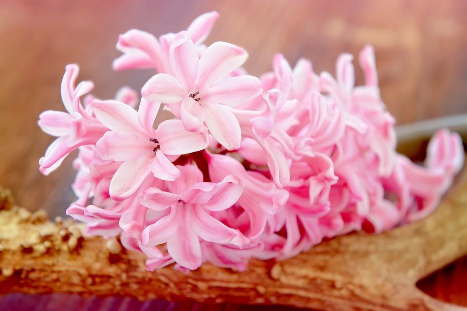 Hyacinth, Flower, Blossom, Bloom, Pink, Fragrant Flower