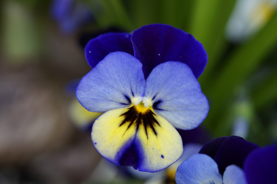 Pansy, Flower, Blossom, Bloom, Close, Friendly, Spring