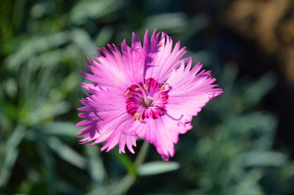 Carnation, Blossom, Bloom, Close Up, Garden
