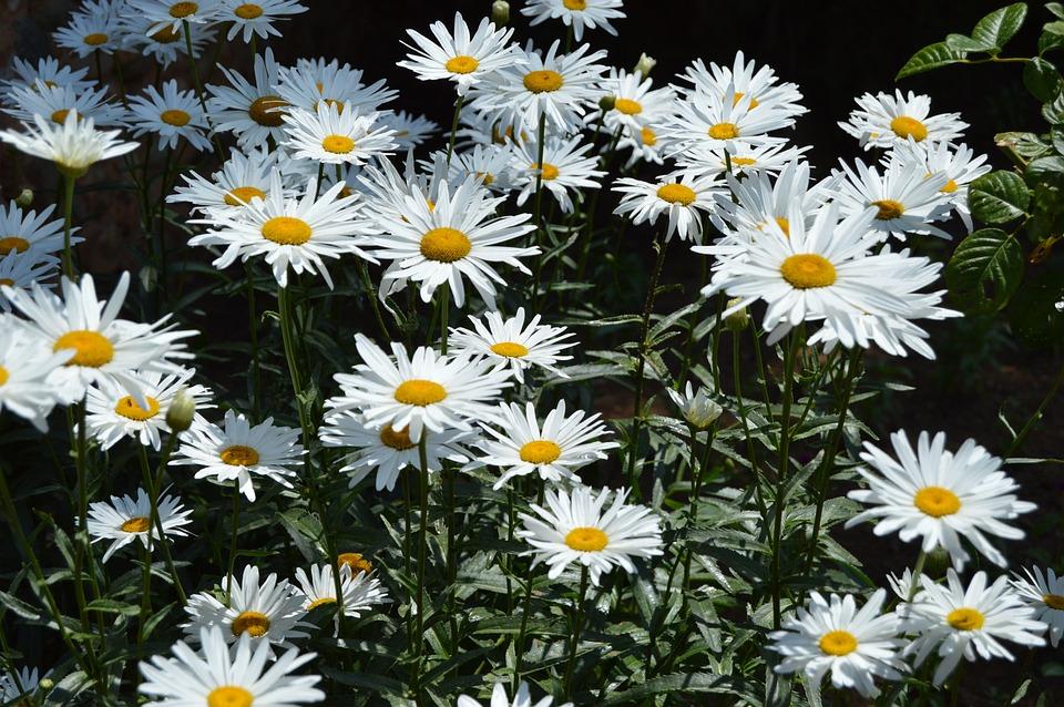 Flowers, Daisies, Daisy, White, Garden, Bloom, Blossom