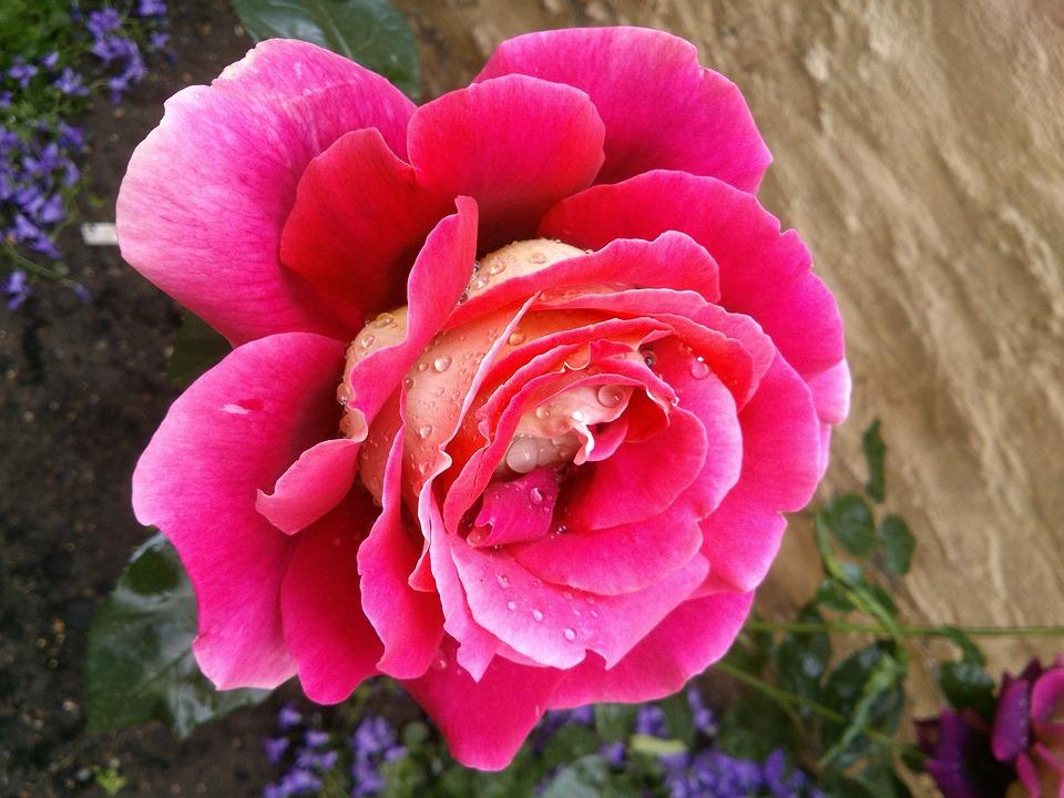Red Rose, Rose, Bloom, Flower, Garden
