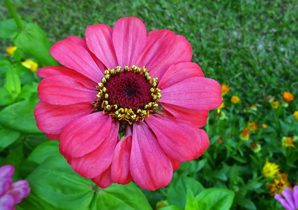 Zinnia, Flower, Flora, Plant, Garden, Bloom, Nature